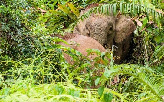 Карликовые Слоны в Борнео, Малайзия