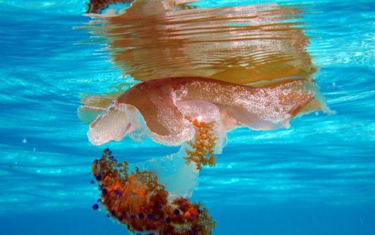 Наблюдение за медузами на Мальте