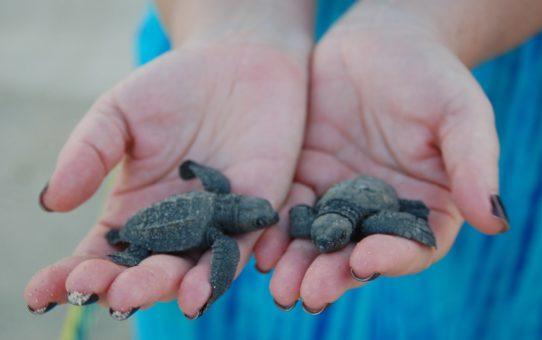 Появление на свет детенышей черепахи а Мексике