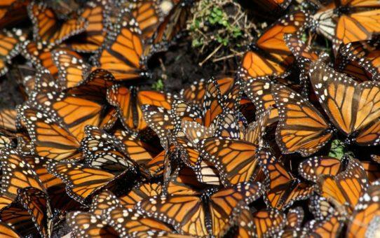 Миграция бабочек Данаида монарх в Мексике
