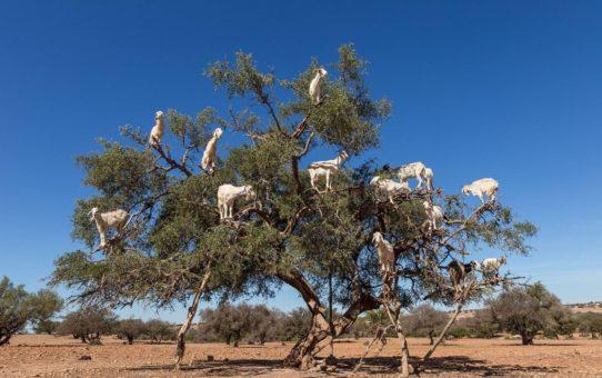 Козы из Сус долины в Марокко