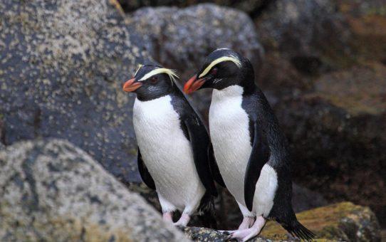 Наблюдение за таваки, пингвинами тропического леса