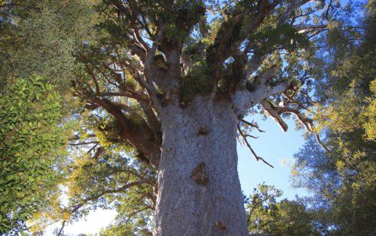 Лес Вайпуа в Новой Зеландии
