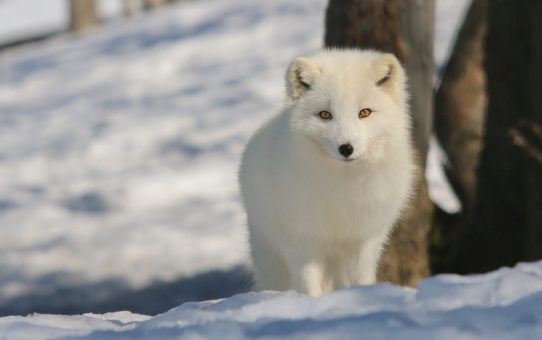 Арктическая лиса в Норвегии