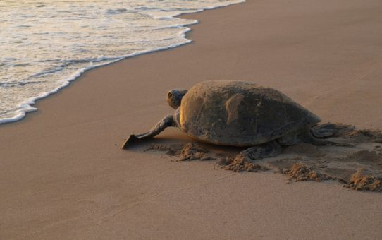 Гнездование и вылупление черепах в Омане