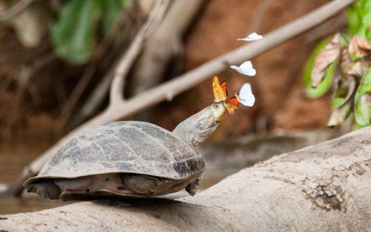 Бабочки пьют слезы черепах в Перу
