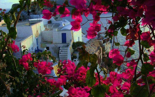 Цветение Фуксии Бугенвиллеи на Санторини
