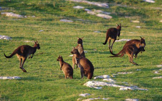 Наблюдение за детенышами кенгуру в Австралии (Joeys)