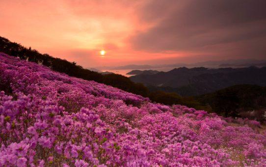 Цветение азалий в Южной Кореи