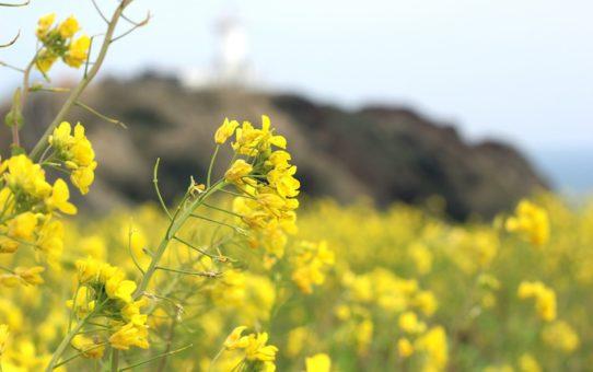 Цветение Рапс (Юче) на острове Чеджудо