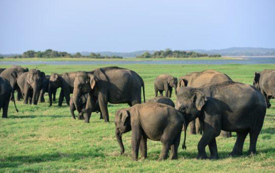 Сбор слонов в Шри Ланке