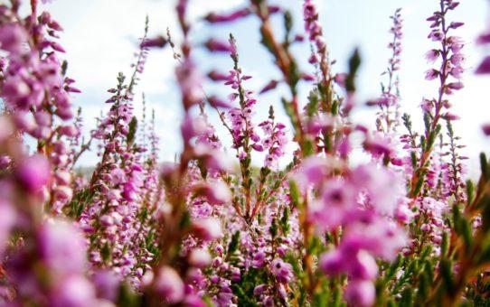 Цветы Лапландии