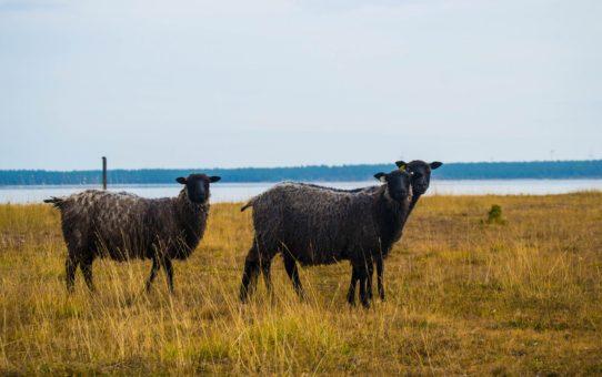 Миграция готландских овец в Швеции