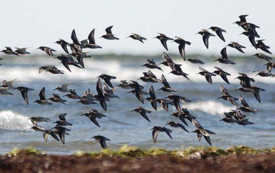 Перелетные птицы в Фалстербо, Швеция