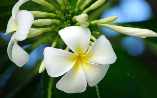 Цветение Тиаре Таити во Французской Полинезии