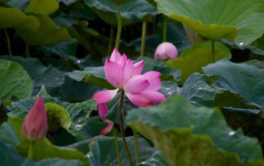 Цветение Лотосов на Тайване