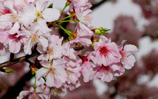 Цветочный сезон Янмин в Тайване