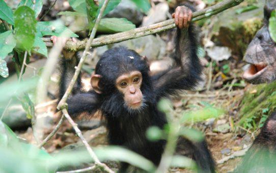 Миграция шимпанзе в Гомбе, Танзания