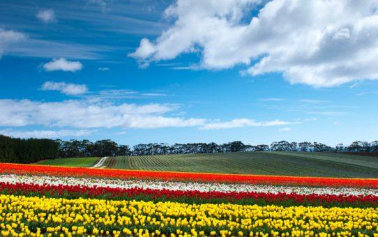 Цветущие тюльпаны в Тасмании