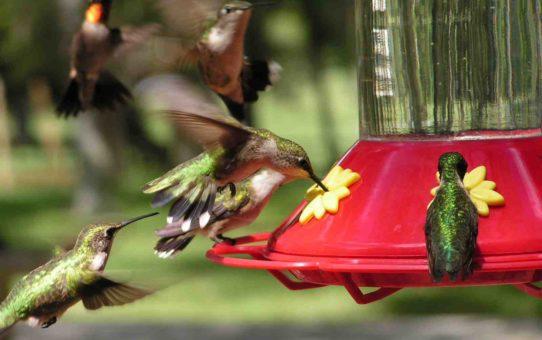 Миграция колибри в Остине, Техас