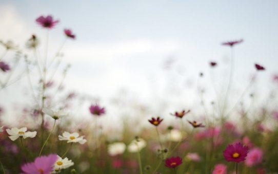 Комисческое тайское цветение
