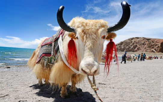 Миграция яков в Тибете