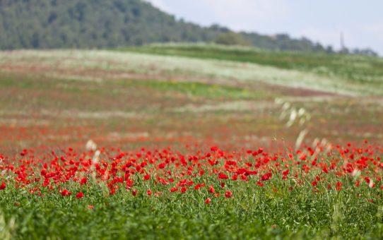 Цветение диких маков Блум в Тоскане