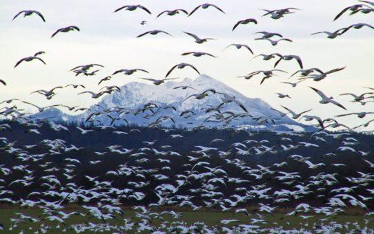 Миграция Снежного гуся в Вашингтоне