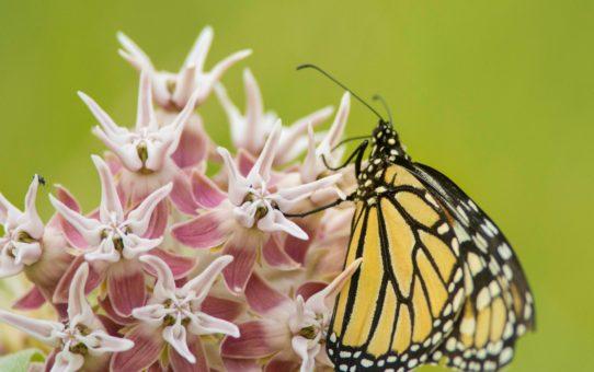 Цветение молочая и бабочки-монархи в Йосемитском национальном парке