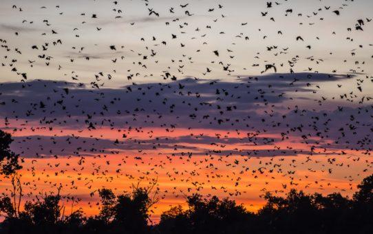 Миграция летучих мышей в Замбии